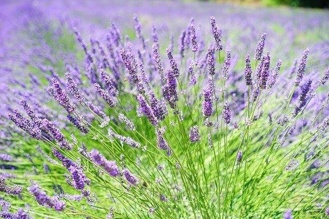Lavender, aromatherapy, massage, Belper, essential oils, grow your own, cooking, recipe, shortbread,