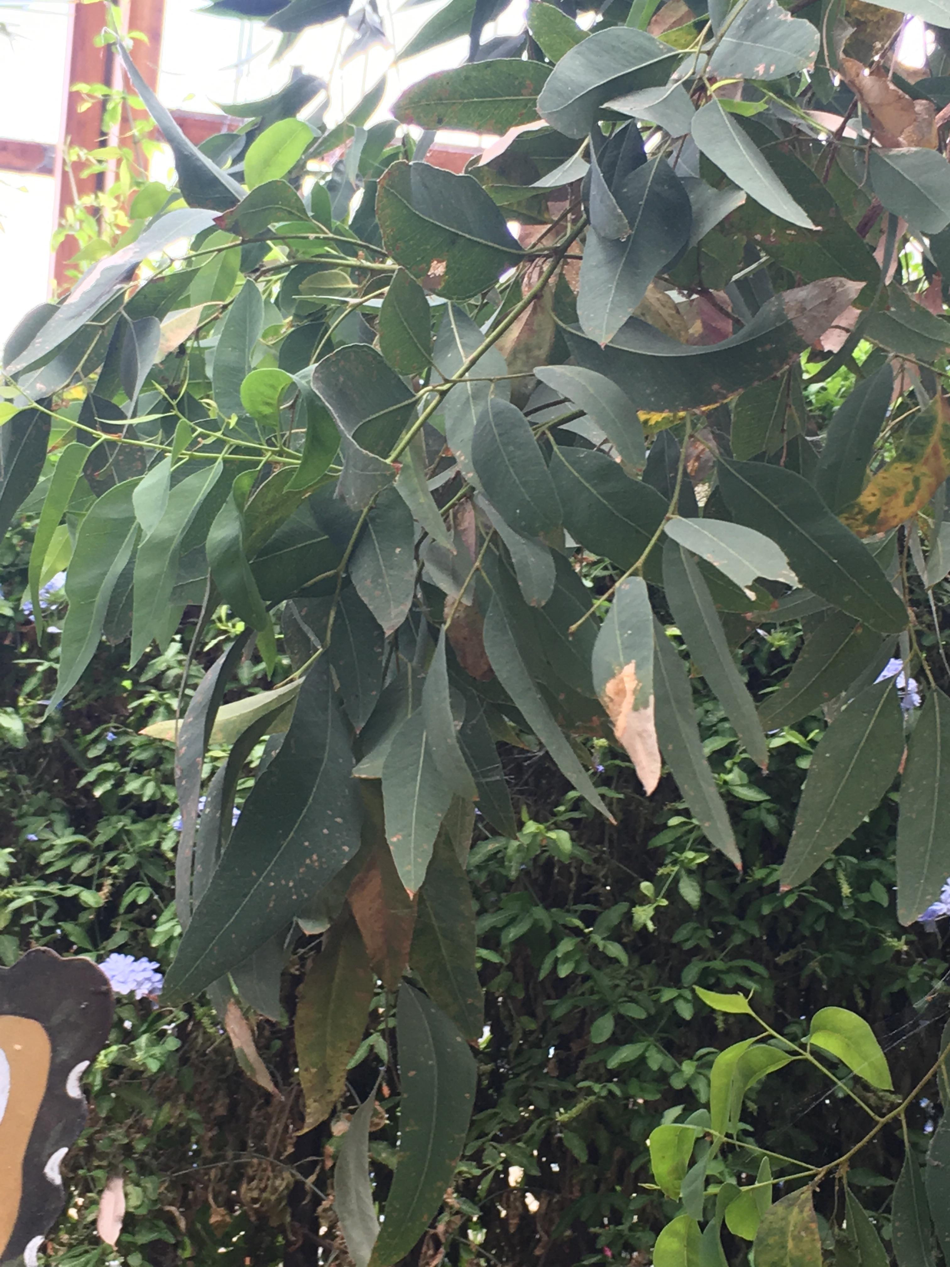 Eucalyptus, essential oils, massage, gardens, Aromatherapy, Sheffield, winter gardens, Belper, Derbyshire